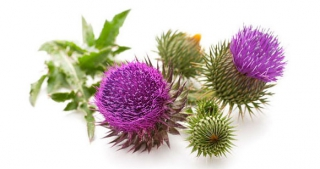 Milk Thistle the miracle cleanser